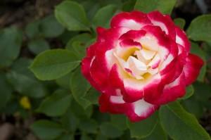 trandafir alb rosu